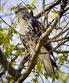 Parkside Hawk  (C) Copyright Ricky L.Jones 1995-2012 All rights reserved.