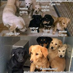 """***Was found running along the roadway with puppies***Smith County Tyler, TX GOLDIE & PUPS Cause# 147, 147-1 thru to 147-5 GOLDIE, Female, Tan & Gold Lab Mix 3 years old, Pups: Rastus"""",Rufus"""", """"Eustas"""",""""Johnson"""",""""Heidi"""" ~Intake: 1/22**TAG by Tuesday January 27 by 5 PM!** https://www.facebook.com/SavingAnimalsFromEuthanasiaInTexas/photos/a.1464929687057764.1073741865.1388603924690341/1563420883875310/?type=3&theater"""
