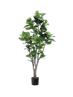 7 office plants you wont kill rubber tree office plants and tree planting - Tall House Plants Low Light