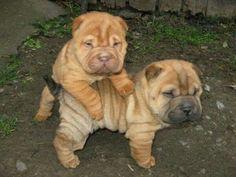 Cute sharpei puppies :) I love my sharpeis Puppies And Kitties, Cute Puppies, Cute Dogs, Doggies, Cute Baby Animals, Animals And Pets, Pitbull, Shar Pei Puppies, Cute Creatures