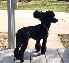 My, Lisa Earl, Toy Poodle Indigo Bleu Earl 8 months old.