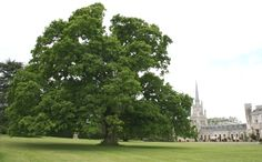"""5. """"Princess Victoria"""" Oak – Dominating the south lawn and commanding the neighbouring Yews, the now giant Oak Tree was planted by the young Princess on a visit to Ashridge House in 1823. The tree now boasts a girth of 4.8m! www.ashridge.org.uk"""