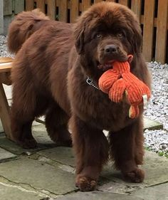 ❤️ Un gros balourd au cœur tendre !!! Brown Newfoundland Dog, Newfoundland Puppies, Cute Puppies, Cute Dogs, Dogs And Puppies, Doggies, Animals And Pets, Baby Animals, Cute Animals