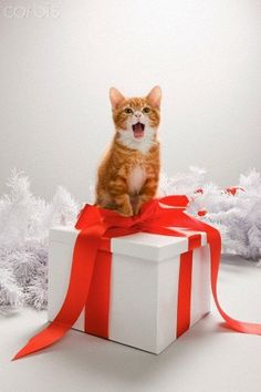 For me?!? For more Christmas cats, visit http://Facebook.com/funholidaycats