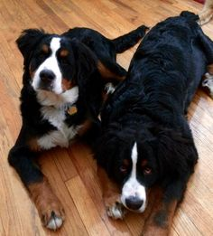 Bernese Mountain, Mountain Dogs, Mans Best Friend, Best Friends, Dog Pictures, Animals Beautiful, Puppy Love, Bliss, Creatures