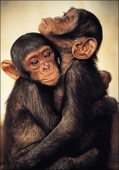 "Chimpanzees: ""Monkey Hug."" (N.B: There are many ways love is expressed in The Animal Kingdom, but only Primates hug.)"