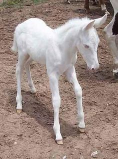 Mules do not tolerate albinism. This fine foal's just a whiter shade of pale. Is this statement true? All The Pretty Horses, Beautiful Horses, Animals Beautiful, Rare Animals, Cute Baby Animals, Newborn Animals, Horse Pictures, Animal Pictures, Baby Horses