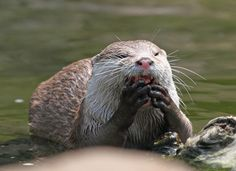 Otter stuffs his face with all the noms