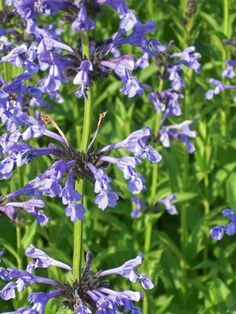 Plant Guide - Plants - Grasses - Nepeta nervosa
