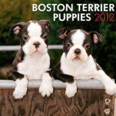 Boston Terrier Puppies!
