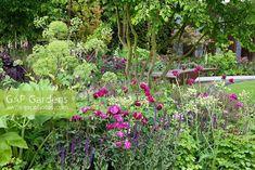Planting combination includes Angelica archangelica, Rosa 'Nuits de Young' Salvia nemorosa 'Caradonna', Cirsium rivulare 'Atropurpureum', Mathiasella bupleuroides 'Green dream' and in the background, a multi-stemmed Fagus sylvatica