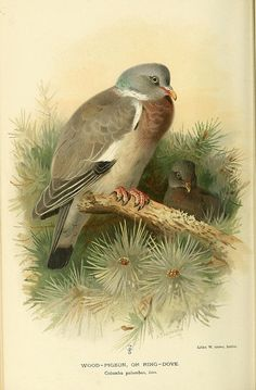 Wood Pigeon by Archibald Thorburn (1860-1935)