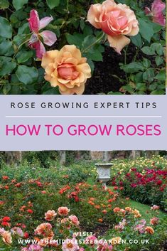 Find out how to feed and care for your roses, and why your roses aren't flowering. Tips from expert head gardener Neil Miller at Hever Castle #gardening #middlesizedgarden #roses #backyard Growing Roses, Colorful Garden, Where The Heart Is, Backyard, Colour, Tips, Flowers, Plants, Yard