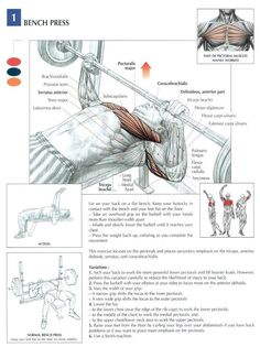 The Bench Press and the target muscles associated with it. #KNOWLEDGE #FITLIFE