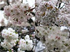 桜の季節に訪れるのが大好きな、都心のオアシス・新宿御苑。 ソメイヨシノの木もたくさんで見応えがあるのですが、ここは八重桜が 種類・数ともに多いことで、ソメイヨシノの季節が終わった後の方が むしろ楽しめます。今日と明日は、ソメイヨシノより後に咲く新宿御苑の 桜を紹介していきます。 開花が早い方から順番に紹介していきます。 左上は嵐山、右上は弁殿、左下が白妙、右下が白雪。 どれもソメイヨシノが満開の頃に咲き始めて、ソメイヨシノが 花吹雪の頃に、一番の見頃を迎えます。