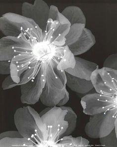 Xray - Flowers