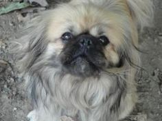 Glen is an adoptable Pekingese Dog in Saint Clairsville, OH. My name is Glen. I am a 3 year old Pekingese who came to the shelter as a stray via the dog warden.I am a sweet little guy who just loves a...