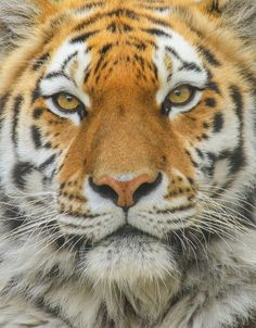bengal tiger | Explore andrew_mcconkey's photos on Flickr. a… | Flickr - Photo Sharing!