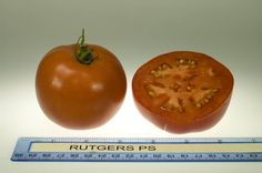 Rutgers Improved PS tomato, grown at Rutgers NJAES research farms.