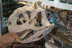 """Throwback to our visit to #Arizona to see the #Tucson Gem, Mineral & #Fossil Showcase. Check out the """"most notched"""" teeth on this Majungasaurus skull! Learn more about this #dinosaur in our #podcast, episode 124 #iknowdino #dinosaurs Phd Student, Educational Games, Fossil, Lion Sculpture, Skull, Statue, Tucson, Dinosaurs, Teeth"""
