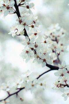 cherry tree in bloom white flowers Amazing Flowers, White Flowers, Beautiful Flowers, Spring Song, Spring Time, My Flower, Flower Power, Flor Magnolia, Ichigo Y Rukia