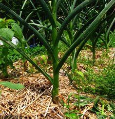 Consejos para cultivar vegetales de todo tipo en huerto y maceteros en español. Info: Siembra, Germinacion, Riego, Sol, Recolección y Consejos Básicos.