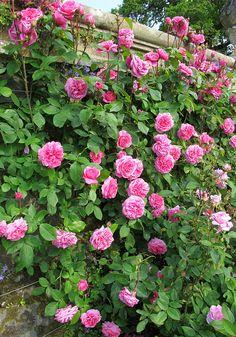 'Gertrude Jekyll' fragrant climbing rose