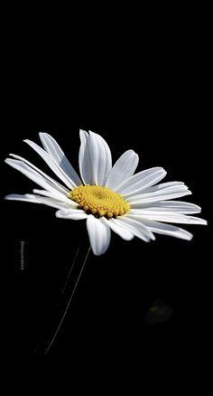 Belo Daisy Wallpaper, Dark Wallpaper Iphone, Flower Phone Wallpaper, Cute Patterns Wallpaper, Tree Wallpaper, Little Flowers, All Flowers, Beautiful Flowers, Marguerites Shasta