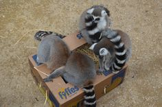 Four male lemurs at the AWCP in Gibraltar enjoying some simple enrichment. Banana boxes filled with hay and sweet potato.