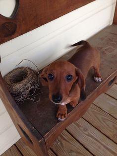 Dachshund. Miniature dachshund. #dachshund puppy.