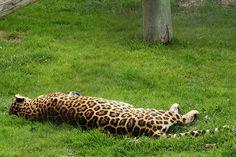 Leopardo by JessieRivera, via Flickr