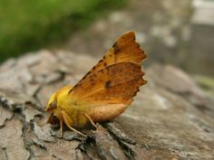 Canary Shouldered Thorn..... 20.08.15