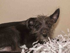 08/28/14 sl ~NITO-ID#A413507  My name is NITO.  I am a neutered male, black and gray Cairn Terrier mix.  The shelter staff think I am about 14 weeks ol...