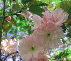 Flowering Tree - Backyard Flowering Trees, Garden Plants, Blossoms, Gardens, Backyard, Shapes, Flowers, Photography, Color