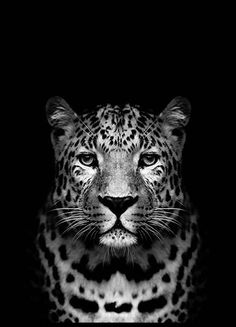 Leopard B&W Poster in the group Prints / Animals at Desenio AB Animals Black And White, Black And White Posters, Amazing Animals, Animals Beautiful, Beautiful Creatures, Poster Shop, Poster Prints, Art Posters, Event Posters