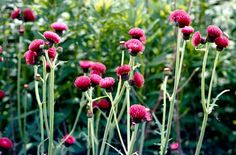 Cirsium rivulare 'Atropurpureum' / RHS Gardening. This is a great plant for the back of a border and it has a long flowering period. Also bees love it!