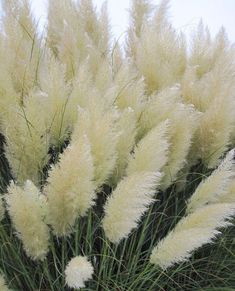 Details about White pampas grass Cortaderia selloana 50 seeds * Showy * Ornamental * - Garden Plants Landscaping Plants, Garden Plants, Landscaping Ideas, Inexpensive Landscaping, Modern Landscaping, Outdoor Plants, Outdoor Gardens, Plants Indoor, White Plants