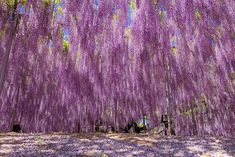 la plus grande glycine du japon 144 ans 1990 m2 11   La plus grande glycine du Japon ressemble à un ciel rose   record du monde photo japon ...