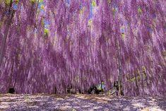 la plus grande glycine du japon 144 ans 1990 m2 11   La plus grande glycine du Japon ressemble à un ciel rose   record du monde photo japon ...