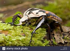 mecynorrhina oberthuri dead side view - Google Search Side View, Google Search, Animals, Animales, Animaux, Animal, Animais