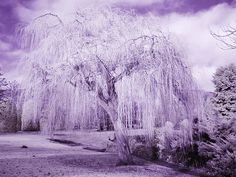 Rob Smith's Weeping Willow