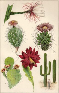 Antique Cacti Cactus Print Night Blooming Cereus by MyPaperedPast, $10.00