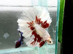 Platinum white/red half moon betta fish