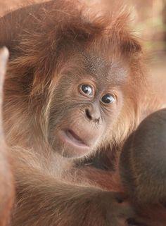 What did you say? Young orangutan