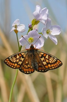 The scarce Marsh Fritillary butterfly, here at rest on a Cuckoo Flower (Cardamine pratensis)