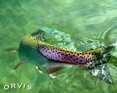 Orvis Fly Fishing Contest - Over the rainbow | Rainbow trout… | Flickr