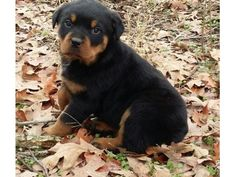 listing Playful Rottweiler Pups Ready Now is published on Free Classifieds USA online Ads - http://free-classifieds-usa.com/for-sale/animals/playful-rottweiler-pups-ready-now_i35850