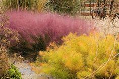 pink muhly grass (Muhlenbergia capillaris) and Arkansas bluestar (Amsonia hubrichtii) Cold Climate Gardening