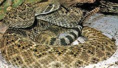 Wildlife Identification - Poisonous Snakes of Oklahoma