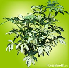 great houseplant care and identification site Umbrella Plant Care, Indoor Garden, Indoor Plants, Air Layering, Plant Pests, House Plant Care, Poisonous Plants, Office Plants, Growing Plants